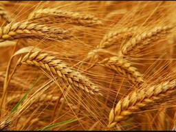 ТОО закупает пшеницу 3,4,5 класс, фуражную пшеницу.