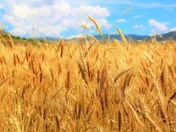 Твёрдая Пшеница