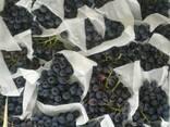 Виноград чилляки кишмиш Узбекистан свежая - фото 2