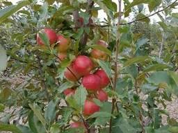Яблоки оптом, срочно урожай 2018 года!
