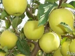 Яблоки сорта Golden Delicious ( Золотой превосходный) - фото 3