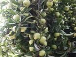 Яблоки свежий Узбекистан - фото 1