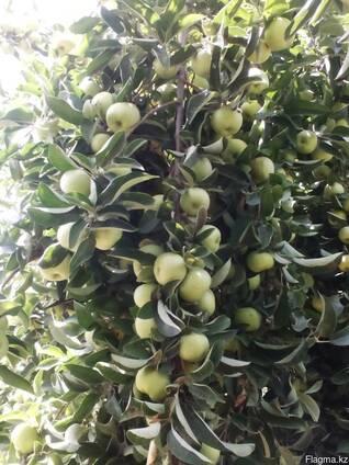 Яблоки свежий Узбекистан