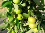 Яблоки свежий Узбекистан - фото 2