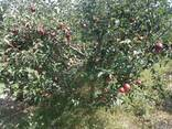 Яблоки урожай 2018г.