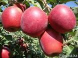Яблони, саженцы яблонь, продажа деревьев яблонь Алматы - фото 4