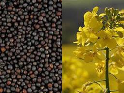 Закупаем пшеницу (дурум, спельта), рожь и рапс Пол
